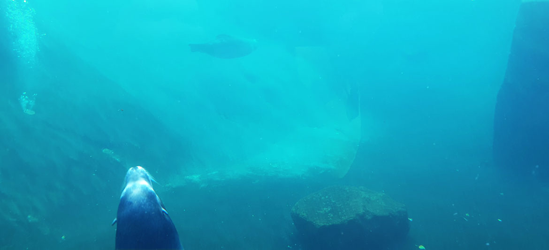 sealions underwater